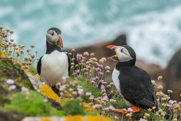 A puffin providing feedback to her friend.