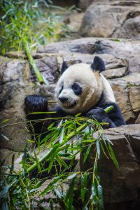 A giant panda eating bamboo leaves